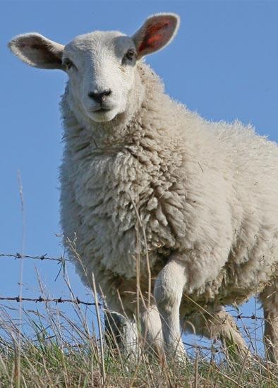 گوسفنده زنده روز