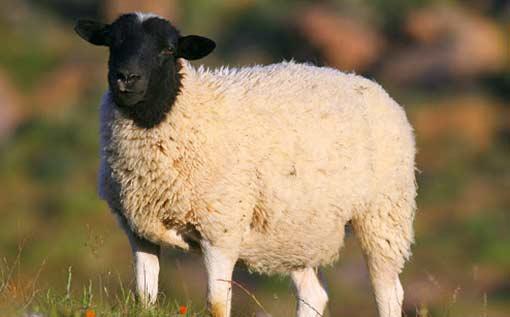 از کجا گوسفند بخریم