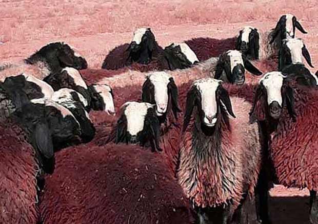 انواع نژاد گوسفندان ایرانی