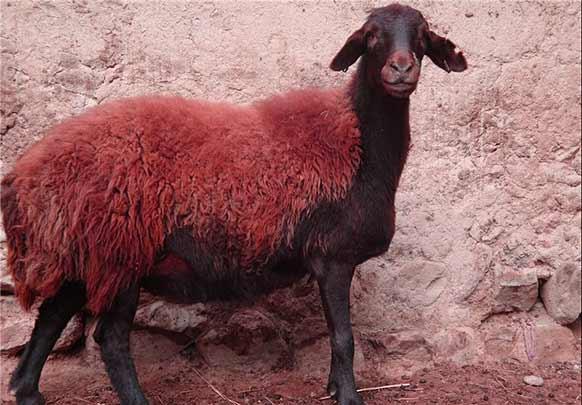 بهترین نژاد گوسفندان ایرانی
