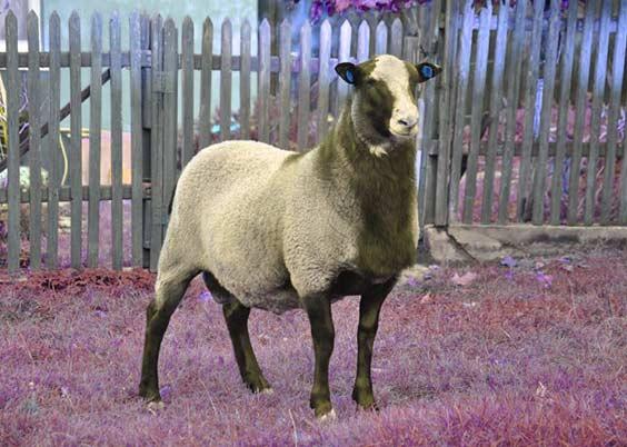قیمت گوسفند رومانف