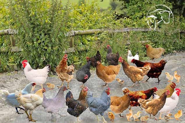 قیمت مرغ و خروس زنده