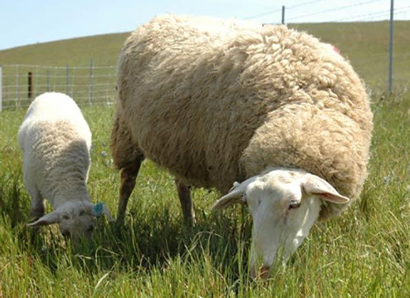 قیمت هر کیلو گوسفند زنده