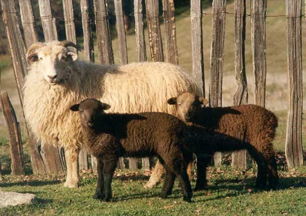 قیمت گوسفندان چند قلوزا