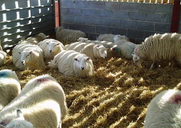 قیمت گوسفنده زنده