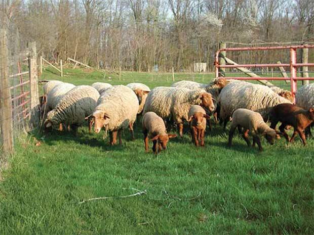 قیمت گوسفند روز