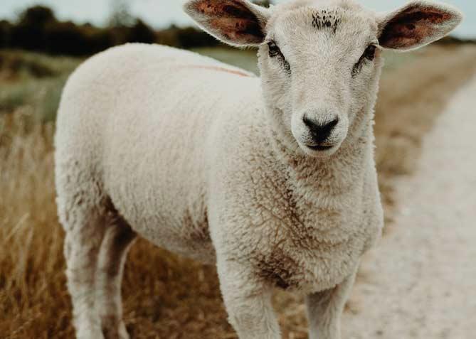 نکات مهم خرید گوسفند