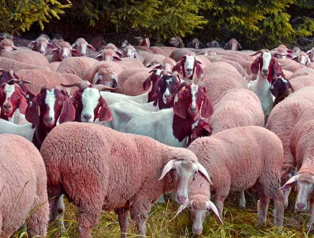 وزن گوسفنده زنده امروز چقدر است
