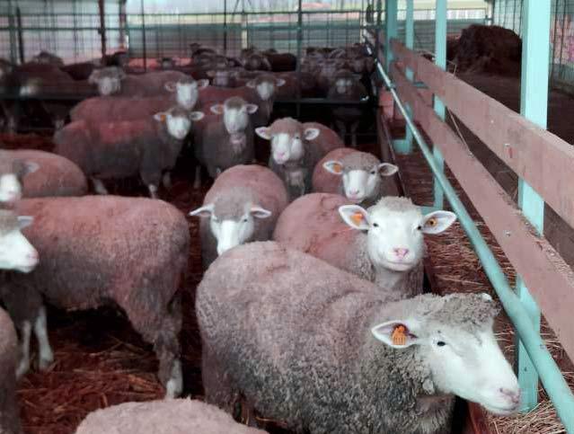 وزن گوسفند و بره