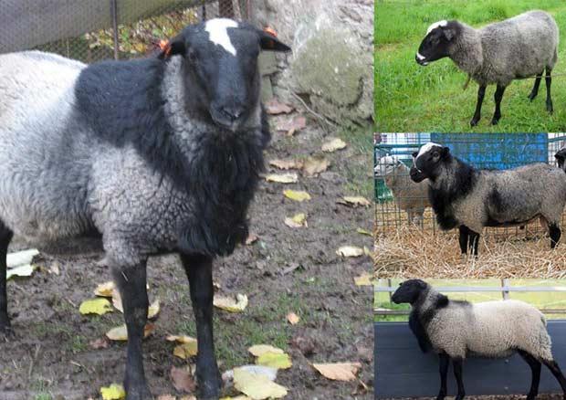 گوسفند رومانف