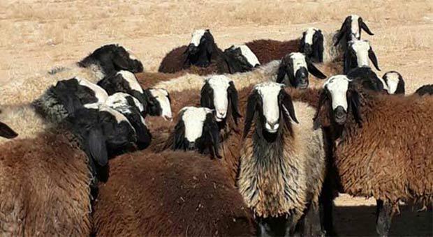 گوسفند زنده در تهران