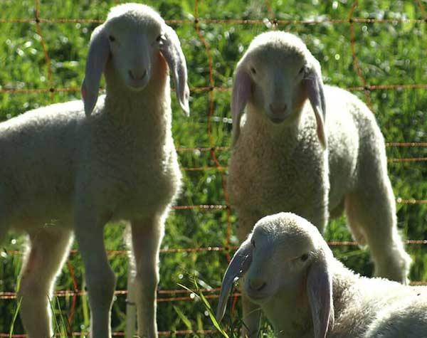 گوسفند چند قلوزا