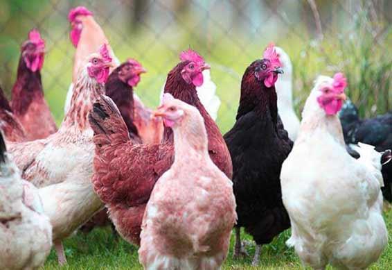 کانال خرید و فروش مرغ و خروس زنده