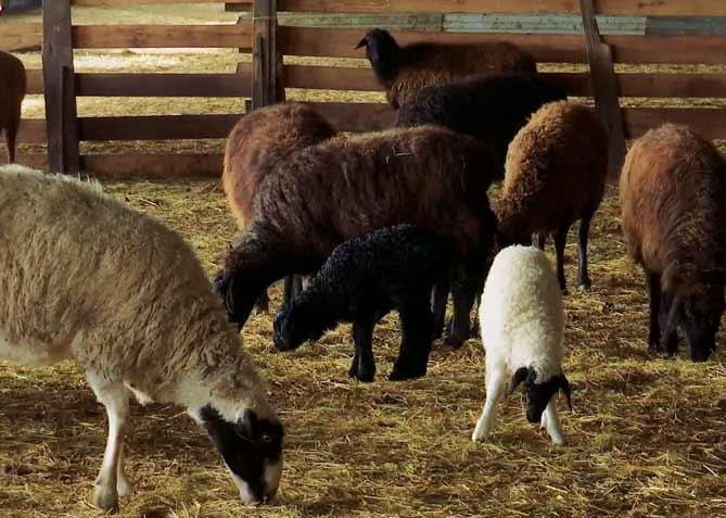 از کجا گوسفند زنده بخریم که قیمت مناسب باشد و مجوز رسمی فعالیت در زمینه فروش دام زنده شهرداری داشته باشد