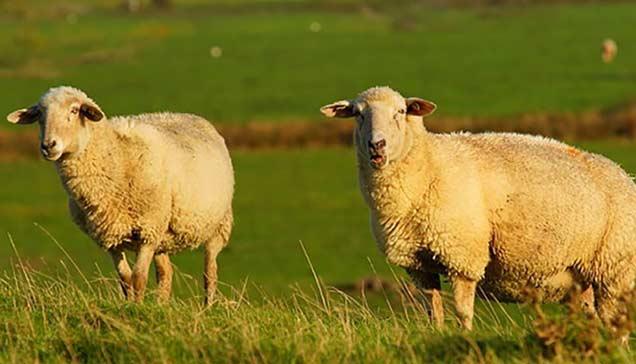 برای عید قربان از کجا گوسفند بخریم