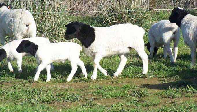 بهترین مرکز خرید و فروش گوسفند زنده با ذبح بهداشتی