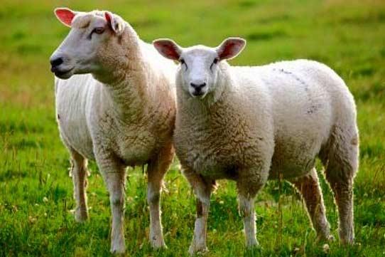 منطقه گوسفند فروشان در تهران و کرج کجاست